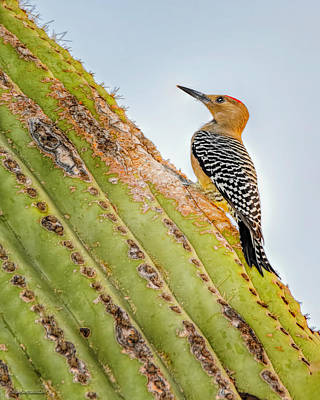 Photograph - Saguaro Cactus With Northern Flicker by LeeAnn McLaneGoetz McLaneGoetzStudioLLCcom