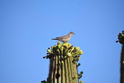 Photograph - Saguaro Dove 1 by Nina Kindred