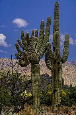 Photograph - Saguaro Duo by Mark Myhaver
