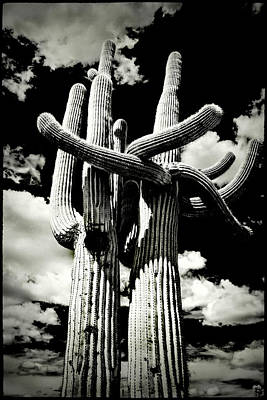 Photograph - Saguaro Embrace by Roger Passman