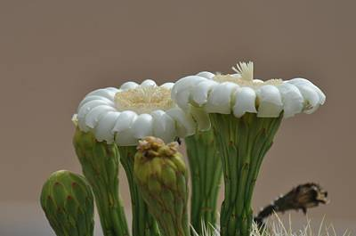 Photograph - Saguaro Flower by Frank Madia