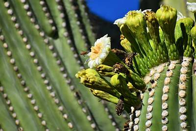 Photograph - Saguaro Flower With Bee 1 by Nina Kindred