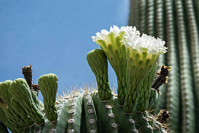 Photograph - Saguaro Flowers by Dan McManus