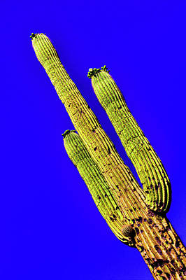 Photograph - Saguaro In Bloom by Roger Passman