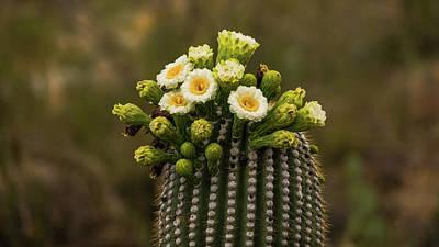 Photograph - Saguaro National Park Cactus Blooms by Lawrence S Richardson Jr