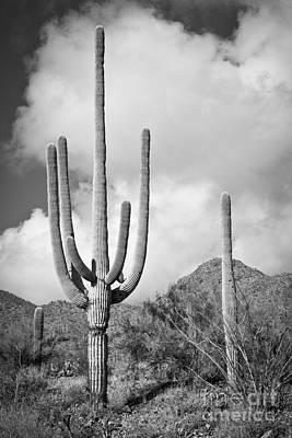 Photograph - Saguaro by Olivier Steiner