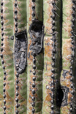 Photograph - Saguaro Scar 2 by Mary Bedy