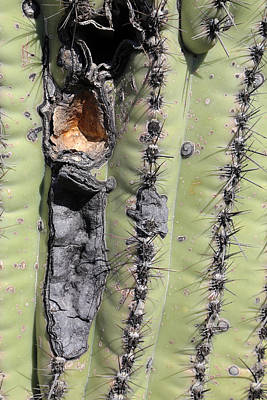 Photograph - Saguaro Scar by Mary Bedy
