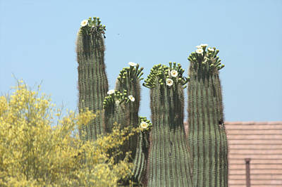 Photograph - Saguaro Sisters by Marilyn Barton