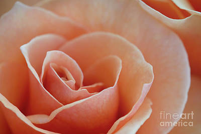 Sahara Light Tan Cream Rose Art Print by David Zanzinger