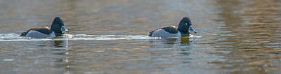 Photograph - Sailing Pair Of Ring-necked Ducks by Jeff at JSJ Photography
