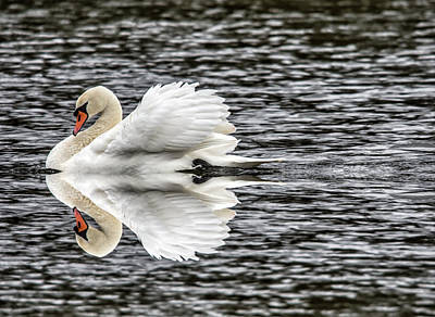 Photograph - Sailing Swan Reflection by Cliff Norton
