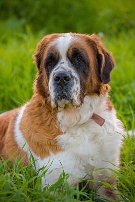 Photograph - Saint Bernard by Mark Perelmuter