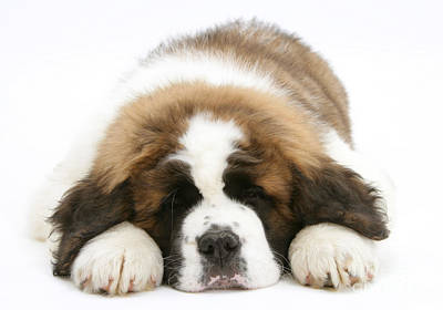 St Bernard Photograph - Saint Bernard Puppy Sleeping by Mark Taylor