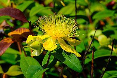 Photograph - Saint John's Wort Blossom by Tikvah's Hope