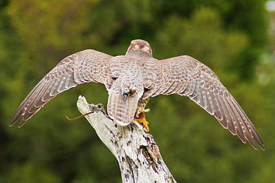 Photograph - Saker Falcon by Bill Barber