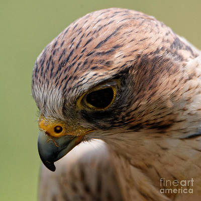 Photograph - Saker Falcon - Blushing by Sue Harper