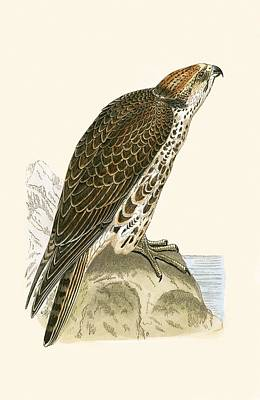 Hawk Painting - Saker Falcon by English School