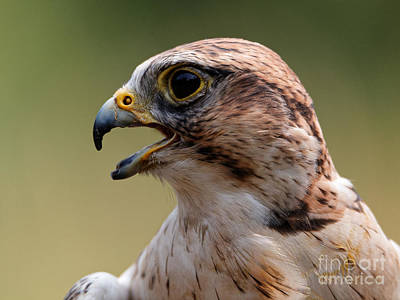 Photograph - Saker Falcon - Falco Cherrug by Sue Harper