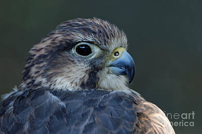 Photograph - Saker Falcon by Sue Harper