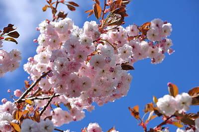 Photograph - Sakua Pink Ornamental Cherry Blossoms Under Blue Sky by Martin Stankewitz