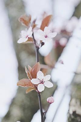 Photograph - Sakura #234 by Desmond Manny