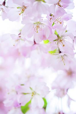 Photograph - Sakura Bloom Romance. Spring Pastels by Jenny Rainbow
