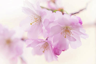 Photograph - Sakura Bloom. Spring Pastels by Jenny Rainbow
