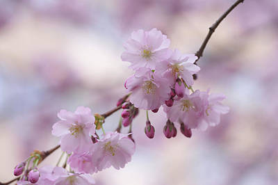 Photograph - Sakura Branch. Spring Pastels by Jenny Rainbow