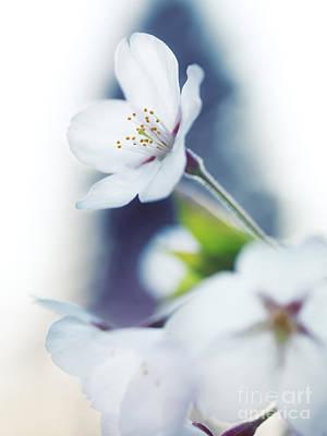 Sakura Photograph - Sakura Cherry Blossom Flowers by Oleksiy Maksymenko