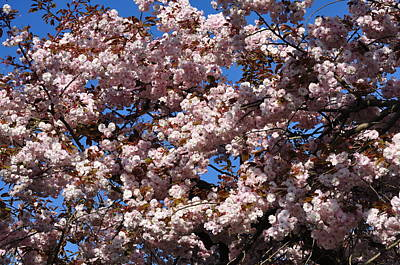 Photograph - Sakura Cherry Blossoms And Blue Sky by Martin Stankewitz