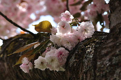 Photograph - Sakura Cherry Blossoms In Spring by Martin Stankewitz