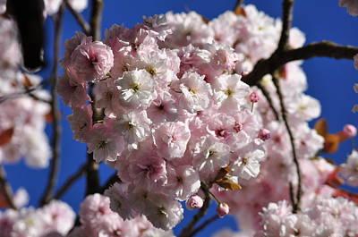 Photograph - Sakura Cherry Blossoms Under Blue Sky by Martin Stankewitz