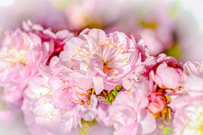 Photograph - Sakura Cherry Flower - Wedding Bouquet by Alexander Senin