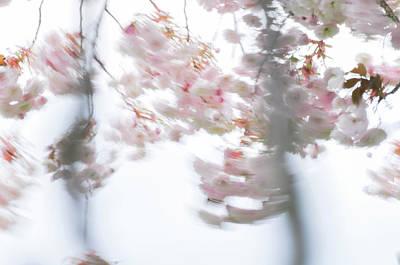 Photograph - Sakura Cherry Tree Blossoms In Motion Blur by Martin Stankewitz