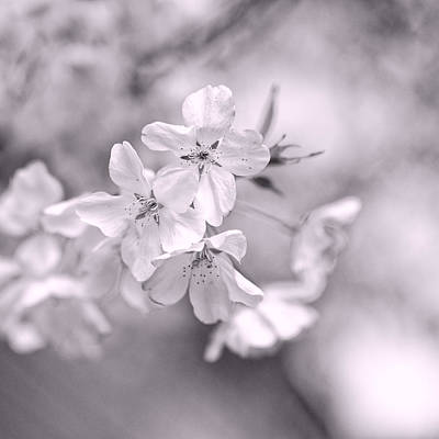 Sakura Photograph - Sakura I by Jon Woodhams