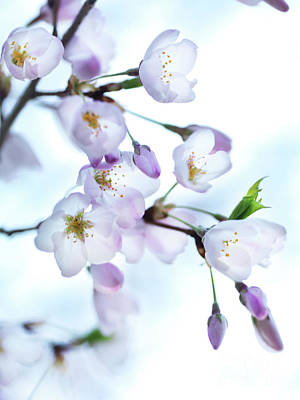 Sakura Photograph - Sakura Japanese Cherry Blossom by Awen Fine Art Prints