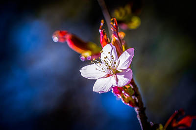 Sakura - Japanese Cherry Flower Art Print by Alexander Senin