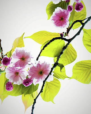 Wall Art - Photograph - Sakura by Jessica Manelis
