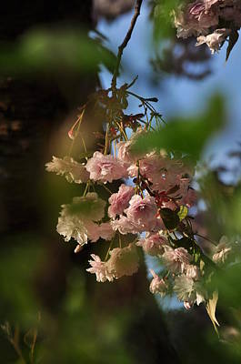Photograph - Sakura Ornamental Cherry Blossoms In Sunshine by Martin Stankewitz
