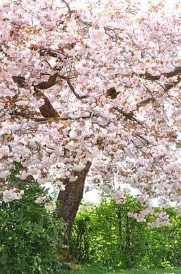 Photograph - Sakura Ornamental Cherry Tree Prunus Serrulata Shirofugen by Martin Stankewitz