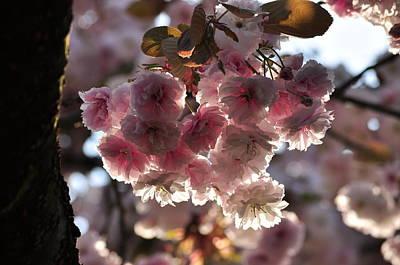 Photograph - Sakura Pink Chery Blossoms Pruus Serrulata Shirofugen by Martin Stankewitz