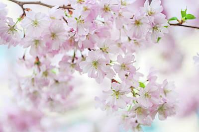 Photograph - Sakura Rendez-vous. Spring Pastels by Jenny Rainbow