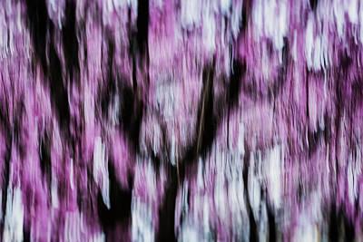 Photograph - Sakura, Study #1 by Yancho Sabev