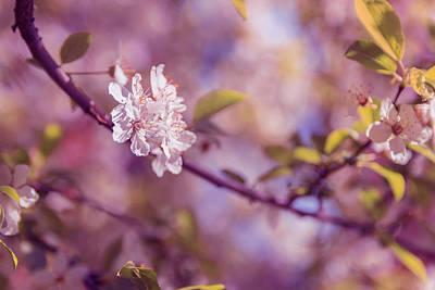 White Flower Photograph - Sakura  by Thubakabra