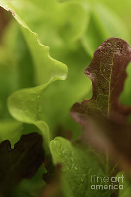 Photograph - Salad Leaves 002 by Clayton Bastiani