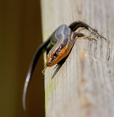 Photograph - Salamander 3 by Buddy Scott