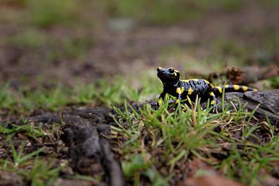 Photograph - Salamandra Salamandra by Andreas Levi