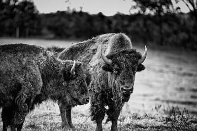 Photograph - Salem Bison by CJ Schmit