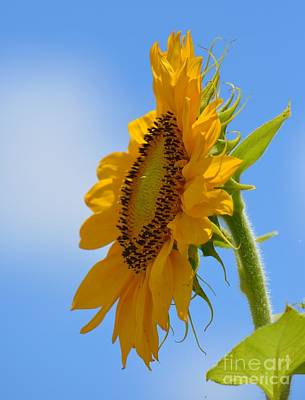 Photograph - Salient Sunflower by Maria Urso